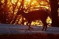 Free Deer In Morning Light Stock Image - 491241