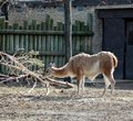 Free Llama Eating Tree Royalty Free Stock Image - 492406