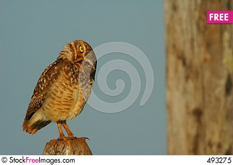 Free What A Speotyto Cunicularia (Molina, 1782), Burrowing Owl Royalty Free Stock Photo - 493275