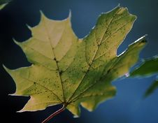 Free Sunlight Maple Leaf Royalty Free Stock Images - 490079