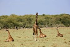 Free Animals 005 Giraffe Royalty Free Stock Photography - 490207