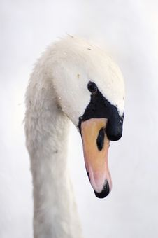 Free White Swan Stock Photo - 490310