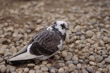 Free Pigeon Royalty Free Stock Photography - 491127
