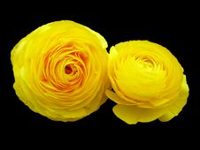 Free Yellow Roses Royalty Free Stock Photography - 492997