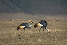 Free Animals 066 Grey Crowned Crane Stock Image - 493141