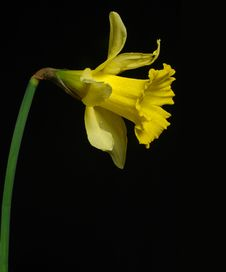 Free Daffodil Stock Photos - 493463