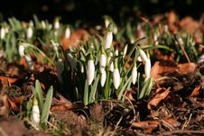 Free Snowdrops Flower Royalty Free Stock Photos - 493568