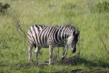 Free Zebra Cleaning Royalty Free Stock Image - 494406