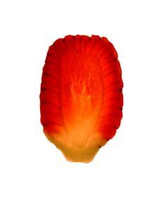 Free Strawberry Slice Royalty Free Stock Photo - 497105