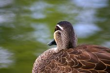Free Duck Detail Royalty Free Stock Image - 498066