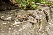 Group Of Lizards Royalty Free Stock Images