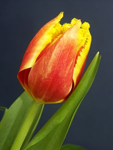 Free Yellow And Red Tulip Stock Photography - 499662