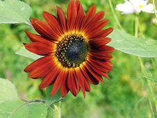Free Sunflower. Stock Photography - 499942