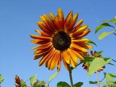Free Sunflower. Stock Images - 499954