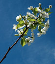 Free Branch With Flowers 01 Stock Photography - 4901242