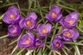Free Purple Crocuses Royalty Free Stock Image - 4903986