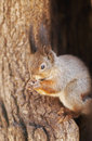 Free Squirrel Royalty Free Stock Photo - 4907015