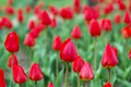 Free Red Tulips Stock Photography - 4909622