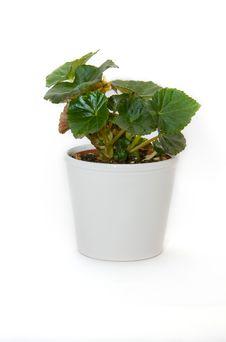 Free Begonia Royalty Free Stock Photos - 4900298