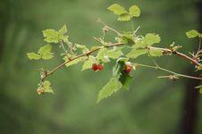 Free Raspberries Stock Photos - 4900473