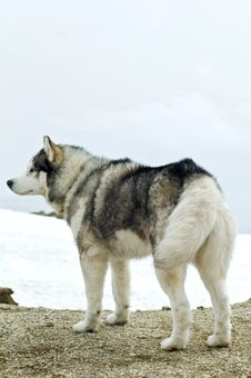 Free Husky Dog  In  Wilderness Stock Image - 4900731