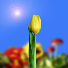 Free Yellow Tulip Stock Images - 4902264