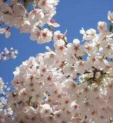 Free Cherry Blossoms Royalty Free Stock Images - 4902909