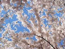 Free Cherry Blossoms Royalty Free Stock Image - 4902916