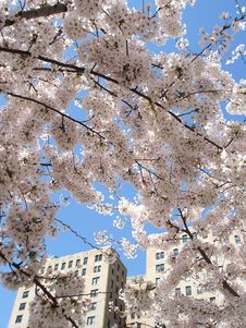 Free Cherry Blossoms Royalty Free Stock Photo - 4902935