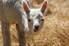 Free Llama Stock Photography - 4903402