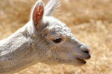 Free Llama Royalty Free Stock Images - 4903409