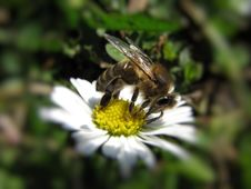 Free Bee With Flower Royalty Free Stock Photos - 4903598