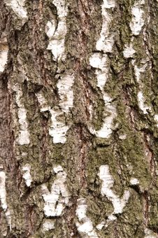 Free Black And White Birch Bark Stock Photos - 4903943