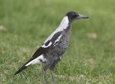 Free Australian Magpie Stock Images - 4903944