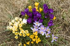 Free Yellow, Blue, Purple And White Crocuses Royalty Free Stock Image - 4904046