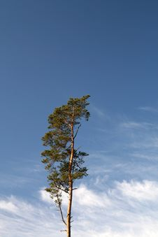 Free Pine On Sky Royalty Free Stock Photography - 4904537