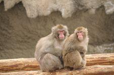 Free Japanese Macaque Stock Photos - 4904993