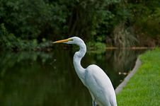 Free Great White Heron Royalty Free Stock Photos - 4905008