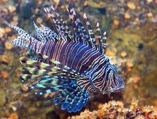 Free Common Lionfish (pterois Miles) Royalty Free Stock Photography - 4905607