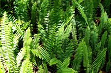Free Ferns In The Sun Royalty Free Stock Images - 4905619