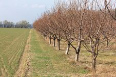 Free Row Of Peach Trees Royalty Free Stock Photo - 4905635
