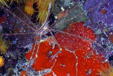 Yellowline Arrow Crab (stenorhynchus Seticornis) Royalty Free Stock Photos