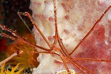 Yellowline Arrow Crab (stenorhynchus Seticornis) Stock Photo