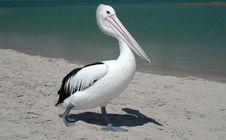 Free Australian Pelican Royalty Free Stock Image - 4906716