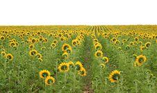Free Field Of Sunflowers Stock Image - 4906721