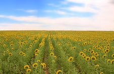 Free Field Of Sunflowers Stock Photography - 4906722