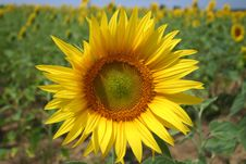 Free Sunflower Against Field Royalty Free Stock Image - 4906726