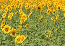 Free Colorful Sunflowers Royalty Free Stock Photography - 4906727