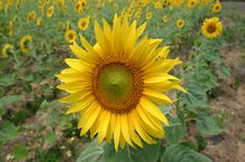 Free Sunflower Isolated From Field Royalty Free Stock Image - 4906736
