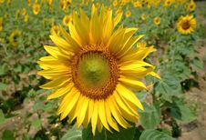 Free Sunflower Field Royalty Free Stock Image - 4906886